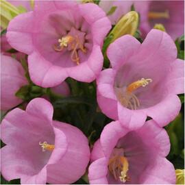 Семена колокольчика Кампана розовый 100 шт Pan Аmerican