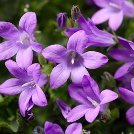 Семена колокольчика Клоквайз синий 100 шт Syngenta Flowers
