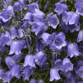 Семена колокольчика Свингинг Беллс синий 200 шт Syngenta Flowers