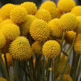Семена краспедии шаровидной 1 000 шт Hem Zaden