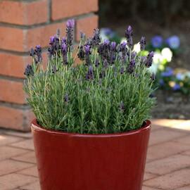 Семена лаванды Бандера пурпурная 100 шт Pan Аmerican