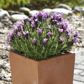 Семена лаванды Бандера темно-розовая 100 шт Pan Аmerican