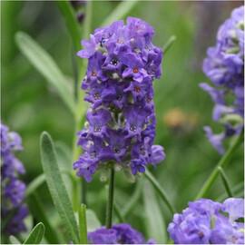 Семена лаванды Элеганс пурпурная 100 шт Pan Аmerican