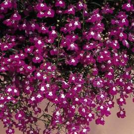 Семена лобелии многолетней Старшип дип роуз 100 шт Pan Аmerican