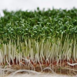 Семена микрозелени кресс-салат Agrocity 10  г