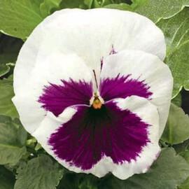 Насіння віоли Карма F1 біла з вічком 100 шт Syngenta Flowers