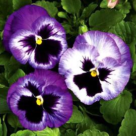 Насіння віоли Колоссус F1 лавандовий сюрприз 100 шт Syngenta Flowers
