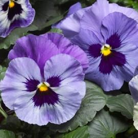 Насіння віоли вітрока Дельта F1 марина 100 шт Syngenta Flowers
