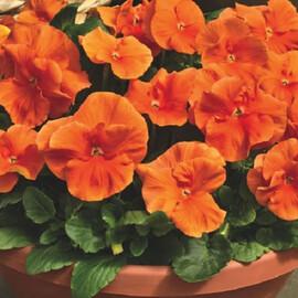 Насіння віоли вітрока Дельта F1 помаранчева 100 шт Syngenta Flowers