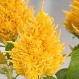 Семена целозии перистой Глориус желтая 200 шт Benary