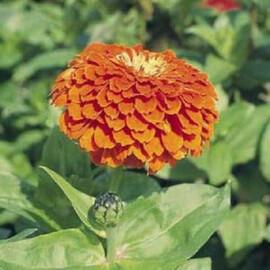 Семена циннии на срез Гиганти Бенари оранжевая 100 шт Benary