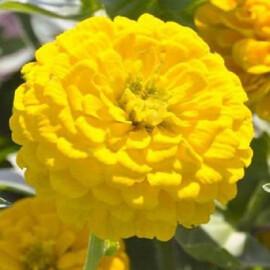 Семена циннии низкорослой Циннита F1 желтая 100 шт Benary