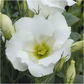 Семена эустомы горшочной Сапфир белая 100 шт Pan Аmerican