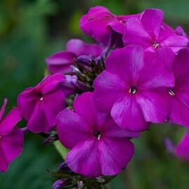 Насіння флокса Друммонда Етні пурпурно-фіолетовий 100 шт Pan Аmerican
