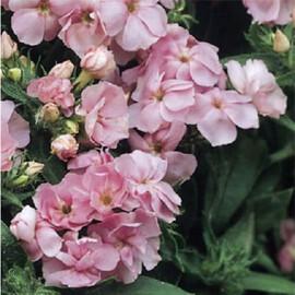 Насіння флокса Друммонда махрового Проміс рожевий 100 шт Pan Аmerican