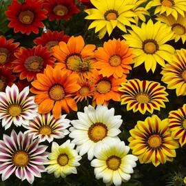 Семена газании Биг Кисс F1 смесь 100 шт Syngenta Flowers