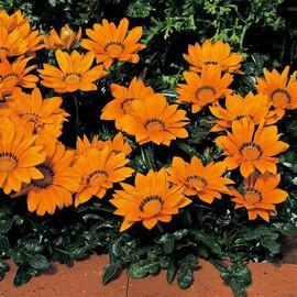 Семена газании Кисс F1 оранжевая 100 шт Syngenta Flowers
