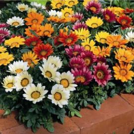 Семена газании Кисс F1 смесь 100 шт Syngenta Flowers