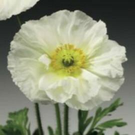Насіння маку альпійського Пульчинела (Пульчинелла) білий 100 шт Syngenta Flowers