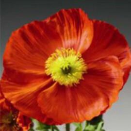 Насіння маку альпійського Пульчинела (Пульчинелла) червоний 100 шт Syngenta Flowers