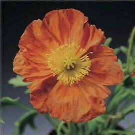 Насіння маку альпійського Пульчинела (Пульчинелла) помаранчевий 100 шт Syngenta Flowers