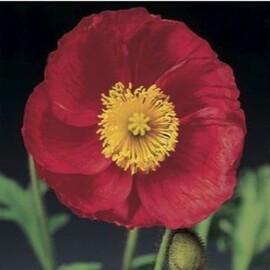 Насіння маку альпійського Пульчинела (Пульчинелла) рожевий 100 шт Syngenta Flowers