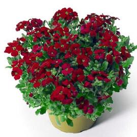 Семена обриеты Одри F1 красная 100 шт Syngenta Flowers