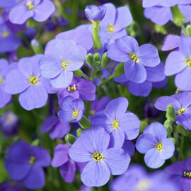 Семена обриеты Одри F1 небесно-синяя 100 шт Syngenta Flowers