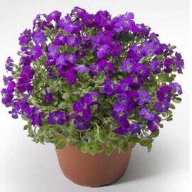 Семена обриеты Одри F1 пурпурная с прожилками 100 шт Syngenta Flowers