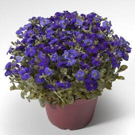 Семена обриеты Одри F1 синяя с прожилками 100 шт Syngenta Flowers