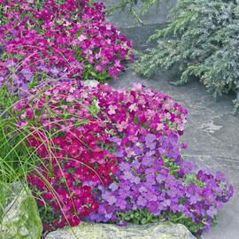 Семена обриеты Одри F1 смесь 100 шт Syngenta Flowers