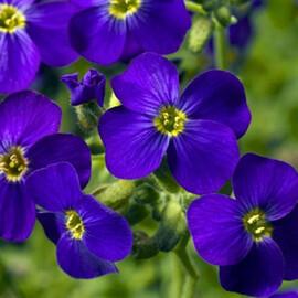 Семена обриеты Одри F1 темно-синяя с прожилками 100 шт Syngenta Flowers