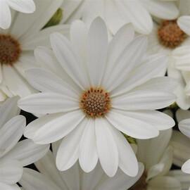 Семена остеоспермума Акила F1 белая маргаритка 50 шт  Pan Аmerican