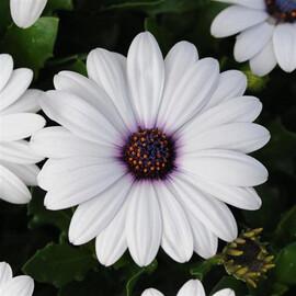 Семена остеоспермума Акила F1 белый 50 шт  Pan Аmerican