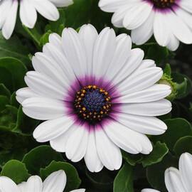 Семена остеоспермума Акила F1 белый с пурпурным глазком 50 шт  Pan Аmerican