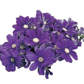 Семена перикаллиса Сателит F1 пурпурно-синий 100 шт Sakata