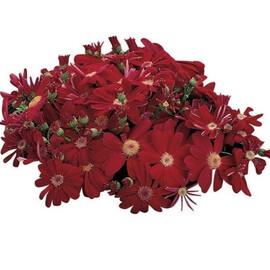 Семена перикаллиса Сателит F1 темно-красный 100 шт Sakata