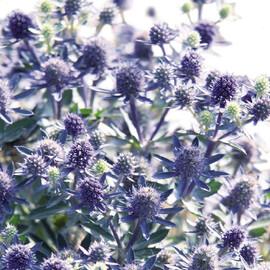 Насіння синьоголовника альпійського Синє сяйво 50 шт Benary
