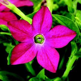 Насіння тютюну крилатого Саратога F1 рожевий 200 шт драже Syngenta Flowers