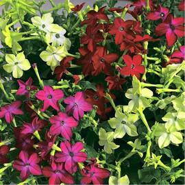 Насіння тютюну крилатого Саратога F1 суміш 200 шт драже Syngenta Flowers