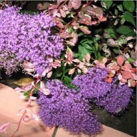 Насіння трахеліума Лайк Форест пурпурний 100 шт Pan Аmerican