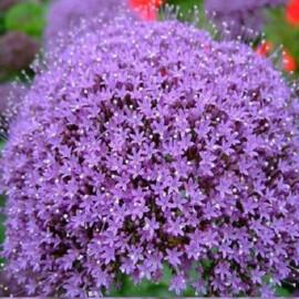 Насіння трахеліума Пессіон темно-пурпурний 50 шт Pan Аmerican