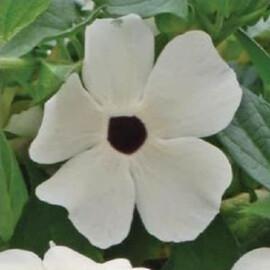 Семена тунбергии Сюзанна белая с глазком 50 шт Pan Аmerican