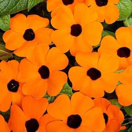 Семена тунбергии Сюзанна оранжевая с глазком 50 шт Pan Аmerican