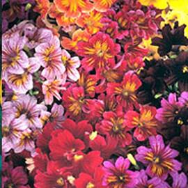 Насіння сальпіглосісса Лібра Mixed Kitano Seeds 100 шт