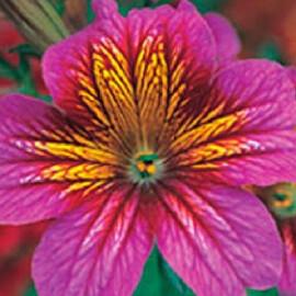 Насіння сальпіглосісса Лібра Purple Bicolour Kitano Seeds 100 шт