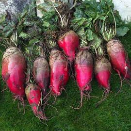 Семена свеклы кормовой Красный Мамонт Hortus 100 г, Фасовка: Проф упаковка 100 г