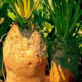Семена свеклы кормовой Желтый Цилиндр Hortus 100 г, Фасовка: Проф упаковка 100 г