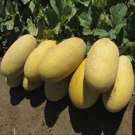 Семена дыни Корса F1 Agri Saaten от 500 шт, Фасовка: Проф упаковка 500 шт