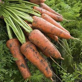 Семена моркови Кордоба F1 Bejo 100 000 шт (1,8-2,0), Фасовка: Проф упаковка 100 000 шт (1,8 - 2,0)